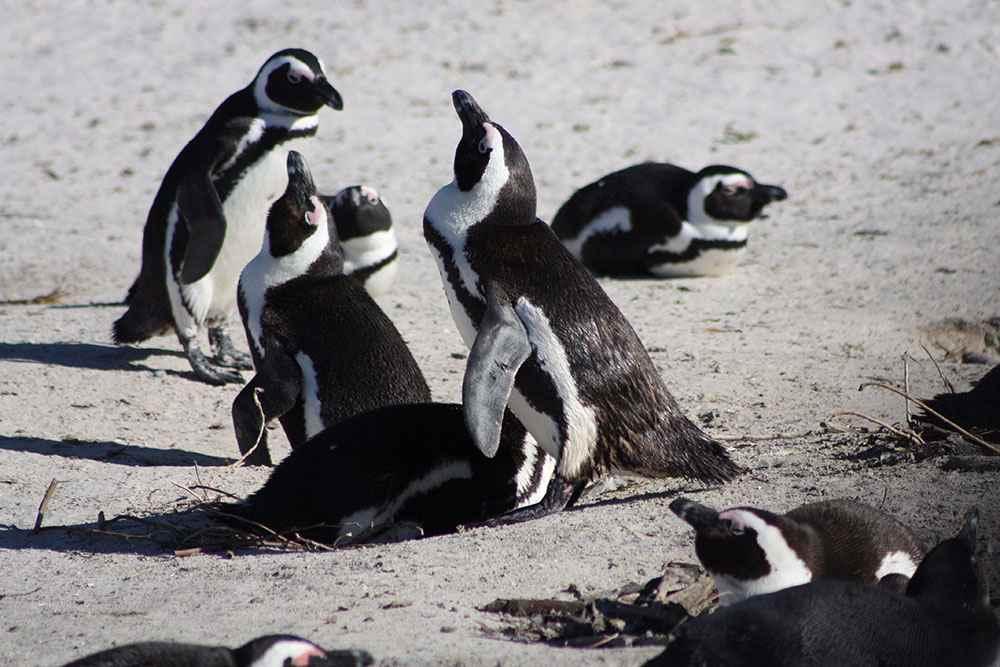 pinguini città del capo